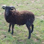 ovce - Exotika na ranči Bítovany
